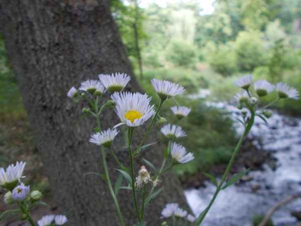 Little daisy flowers by the stream