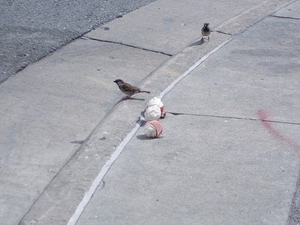 Happier than a bird with a french fry: a bird with 3 gourmet cupcakes. Why were there 3 gourmet cupcakes on the curb? I don't know.