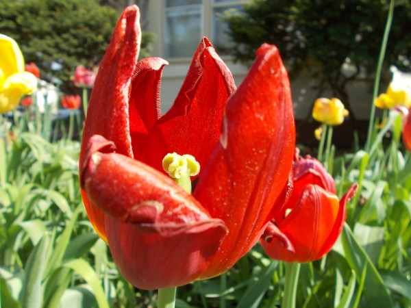 RedTulip