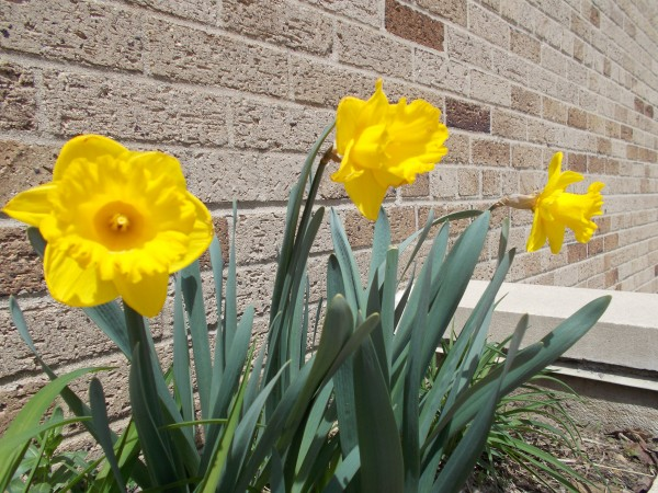 I don't know why but every time I walked by these daffodills outside St Patrick Church they begged me to take a picture of them, and even though the picture of them is not very sharp for some reason I still love it.
