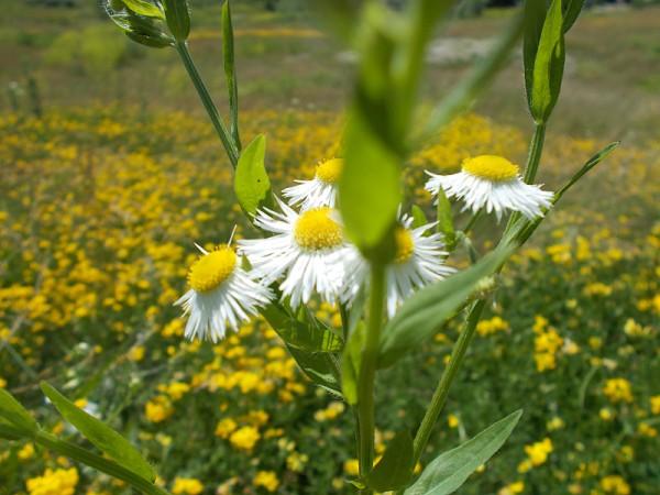 daisies DSCN4396_edited