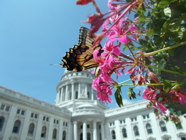 capitolbutterfly2